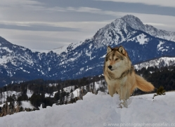 Wolf 2014-21copyright-photographers-on-safari-com