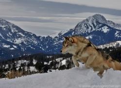 Wolf 2014-22copyright-photographers-on-safari-com