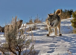 Wolf 2014-2copyright-photographers-on-safari-com