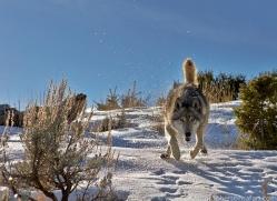 Wolf 2014-3copyright-photographers-on-safari-com