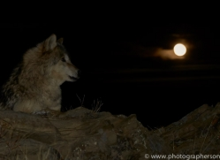 Wolf 2014-6copyright-photographers-on-safari-com
