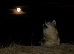 Wolf 2014-7copyright-photographers-on-safari-com