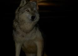 Wolf 2014-8copyright-photographers-on-safari-com