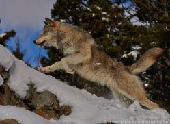 Wolf 2014-9copyright-photographers-on-safari-com
