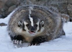 badger-3642-montana-copyright-photographers-on-safari-com