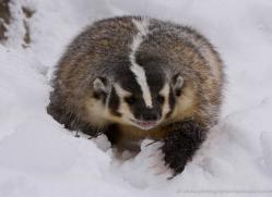 badger-3644-montana-copyright-photographers-on-safari-com
