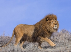barbary-lion-3654-montana-copyright-photographers-on-safari-com