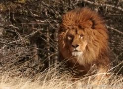 barbary-lion-3655-montana-copyright-photographers-on-safari-com