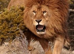 barbary-lion-3657-montana-copyright-photographers-on-safari-com