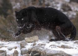 black-leopard-3648-montana-copyright-photographers-on-safari-com