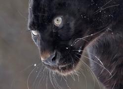 black-leopard-3650-montana-copyright-photographers-on-safari-com