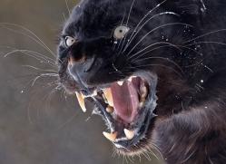 black-leopard-3651-montana-copyright-photographers-on-safari-com
