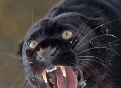 black-leopard-3653-montana-copyright-photographers-on-safari-com