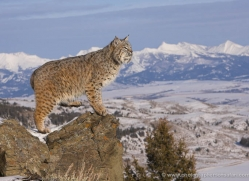 bobcat-3612-montana-copyright-photographers-on-safari-com