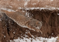 bobcat-3613-montana-copyright-photographers-on-safari-com