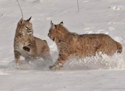 bobcat-3624-montana-copyright-photographers-on-safari-com