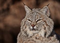 bobcat-3626-montana-copyright-photographers-on-safari-com