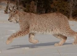 bobcat-3629-montana-copyright-photographers-on-safari-com