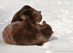 brown-bear-3511-montana-copyright-photographers-on-safari-com