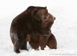 brown-bear-3512-montana-copyright-photographers-on-safari-com