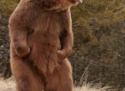 brown-bear-3516-montana-copyright-photographers-on-safari-com