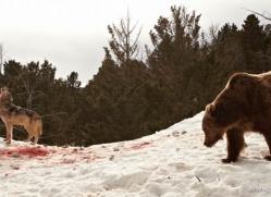 brown-bear-3517-montana-copyright-photographers-on-safari-com