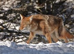 coyote-3670-montana-copyright-photographers-on-safari-com