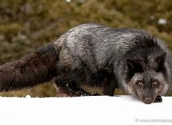 cross-fox-3671-montana-copyright-photographers-on-safari-com