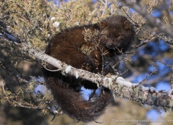 fisher-3645-montana-copyright-photographers-on-safari-com