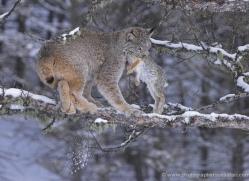 lynx-3630-montana-copyright-photographers-on-safari-com