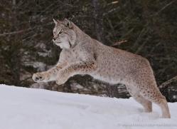 lynx-3633-montana-copyright-photographers-on-safari-com