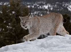 lynx-3636-montana-copyright-photographers-on-safari-com