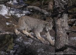 lynx-3637-montana-copyright-photographers-on-safari-com