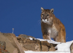 mountain-lion-puma-3521-montana-copyright-photographers-on-safari-com
