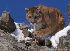 mountain-lion-puma-3523-montana-copyright-photographers-on-safari-com