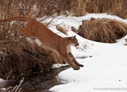 mountain-lion-puma-3524-montana-copyright-photographers-on-safari-com