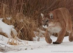 mountain-lion-puma-3525-montana-copyright-photographers-on-safari-com