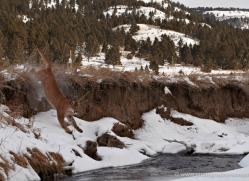 mountain-lion-puma-3527-montana-copyright-photographers-on-safari-com
