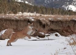 mountain-lion-puma-3528-montana-copyright-photographers-on-safari-com
