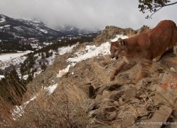 mountain-lion-puma-3529-montana-copyright-photographers-on-safari-com