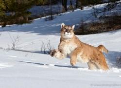 mountain-lion-puma-3530-montana-copyright-photographers-on-safari-com