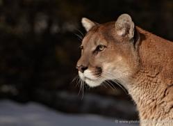 mountain-lion-puma-3531-montana-copyright-photographers-on-safari-com