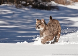 mountain-lion-puma-3532-montana-copyright-photographers-on-safari-com