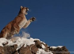 mountain-lion-puma-3536-montana-copyright-photographers-on-safari-com