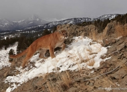 mountain-lion-puma-3537-montana-copyright-photographers-on-safari-com