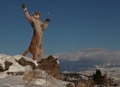 mountain-lion-puma-3539-montana-copyright-photographers-on-safari-com