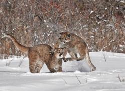 mountain-lion-puma-3541-montana-copyright-photographers-on-safari-com