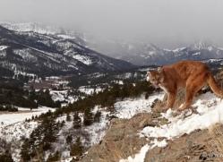 mountain-lion-puma-3543-montana-copyright-photographers-on-safari-com