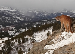 mountain-lion-puma-3545-montana-copyright-photographers-on-safari-com