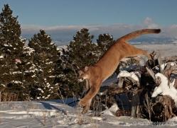 mountain-lion-puma-3546-montana-copyright-photographers-on-safari-com